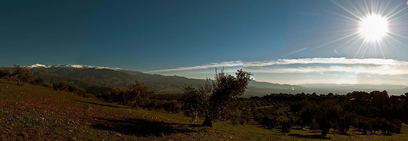 Olives behind the alhambra granada